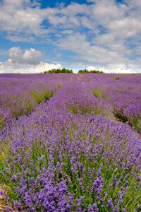 field of lavender bright purple in herb garden.